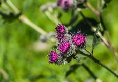 The purple wooly burdock flowers in the garden in summer on a blurred green background. The purple wooly burdock flowers are in the garden in summer on a blurred stock photo