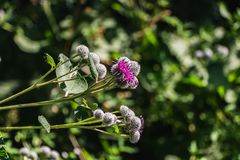 The purple wooly burdock flowers in the garden in summer on a blurred green background. The purple wooly burdock flowers are in the garden in summer on a blurred royalty free stock photos