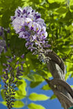 Purple wysteria flower. Purple wysteria blooms on green background Royalty Free Stock Photo