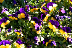 Purple&yellow-Blume lizenzfreies stockbild