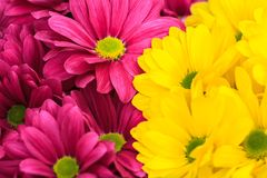 Purple and yellow chrysanthemum floral background Stock Photos