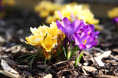 Purple and yellow crocus Royalty Free Stock Images