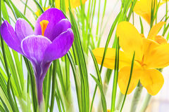 Purple and yellow crocus close up Stock Photos