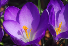 Purple yellow crocus flower Stock Images