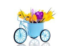 Purple and yellow crocus flowers Stock Photos
