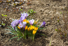 Purple and yellow crocuses Stock Image