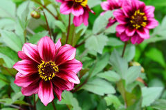 Purple and yellow dahlia flower. In the garden Royalty Free Stock Image