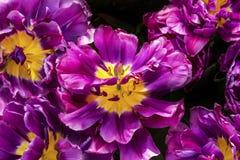 Purple Yellow Fancy Kaufmanniana Lily Tulips Holland Netherlands. Purple Yellow Fancy Kaufmanniana Lily Tulips Keukenhoff Lisse Holland Netherlands Stock Photos