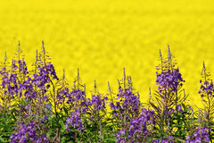 Purple and yellow field flowers Royalty Free Stock Photo