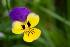 Purple and Yellow flower royalty free stock image