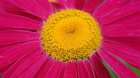 Purple and yellow flower. Aster flower with buds and leafs visible on a colorful, pastel and autumnal background Stock Photography