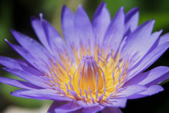 Purple-yellow flower. Beautiful Purple Yellow Lotus Flower royalty free stock photos