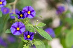 Purple and yellow flower Royalty Free Stock Photography