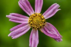 Purple and Yellow Flower Macro. Macro shot of purple and yellow flower Stock Photography