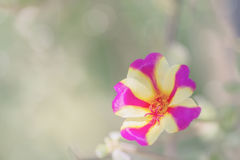 Purple and yellow flower on nature background Royalty Free Stock Photography