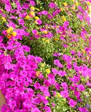 Purple and Yellow Flowers Royalty Free Stock Photos