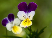 Purple-yellow flowers, macro shot. Purple-yellow flowers on green background Royalty Free Stock Photos