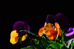 Purple and yellow flowers of pansy violoa tricolor on dark background Royalty Free Stock Photo