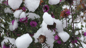 Purple and yellow flowers under the snow Royalty Free Stock Photography