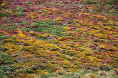 Purple and Yellow Heather Background. A close-up view of a field of purple and yellow heather stock image