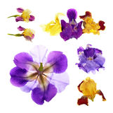 purple and yellow  iris Stock Images
