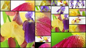 Purple and yellow iris flowers collage Royalty Free Stock Photos