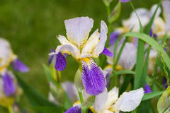 Purple and yellow iris. With green background Stock Photos
