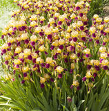 Purple and yellow irises Royalty Free Stock Photo