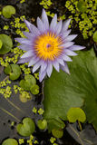 Purple and yellow lotus blossom beautifully. Stock Photo