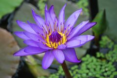 Purple and Yellow Lotus Flower Royalty Free Stock Photo