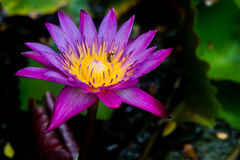 Purple and yellow lotus flower. With the bees in it Royalty Free Stock Images