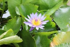 Purple and yellow lotus Royalty Free Stock Photos