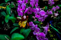 Purple and yellow orchids mixed with orange and green leaves. Purple and yellow orchid with orange and green leaves royalty free stock photography