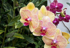Purple  and Yellow Orchids Royalty Free Stock Image