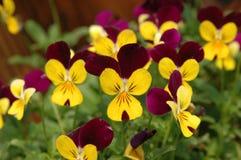 Purple-yellow pansies Royalty Free Stock Photos