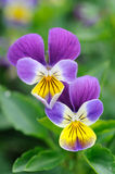 Purple-yellow pansies Stock Photos
