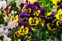 Purple and yellow pansies Royalty Free Stock Images