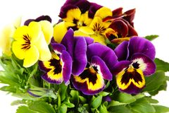 Purple and yellow pansies. Fresh spring flowers Stock Photography
