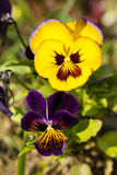Purple and yellow pansies Stock Image
