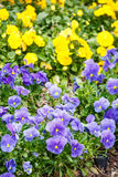 Purple and Yellow Pansies in Spring Garden Royalty Free Stock Photography