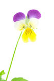 Purple-yellow pansy Stock Images