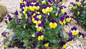 Purple - Yellow Pansy. Close up of Purple - Yellow Pansy or Stepmother& x27;s Flower, Love in idleness & x28; Viola tricolor L. and hybrids & x29; Beautiful Royalty Free Stock Image