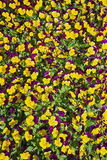 Purple yellow pansy flower background Royalty Free Stock Photos