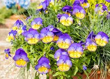 Purple and yellow Pansy Flowers Stock Photos