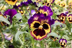 Purple and yellow pansy macro Royalty Free Stock Photos