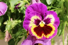 Purple and yellow pansy surrounded by green leaves stock images