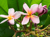 Purple Yellow Plumelia Flowers Blooming Royalty Free Stock Photography
