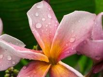 Purple Yellow Plumelia Flowers Royalty Free Stock Image