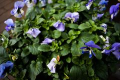 Purple Yellow Pot Flowers Beautiful Green Leaves Leaf Growing Bloom Focus Zoomed. Nice but simple beautiful purple flowers with a little touch of yellow in it stock images