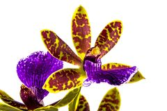 Purple Yellow and Red Oncidium Orchid  on White Background. Close up isolated section of potted and staked purple yellow and red oncidium orchid and green leaves Stock Image